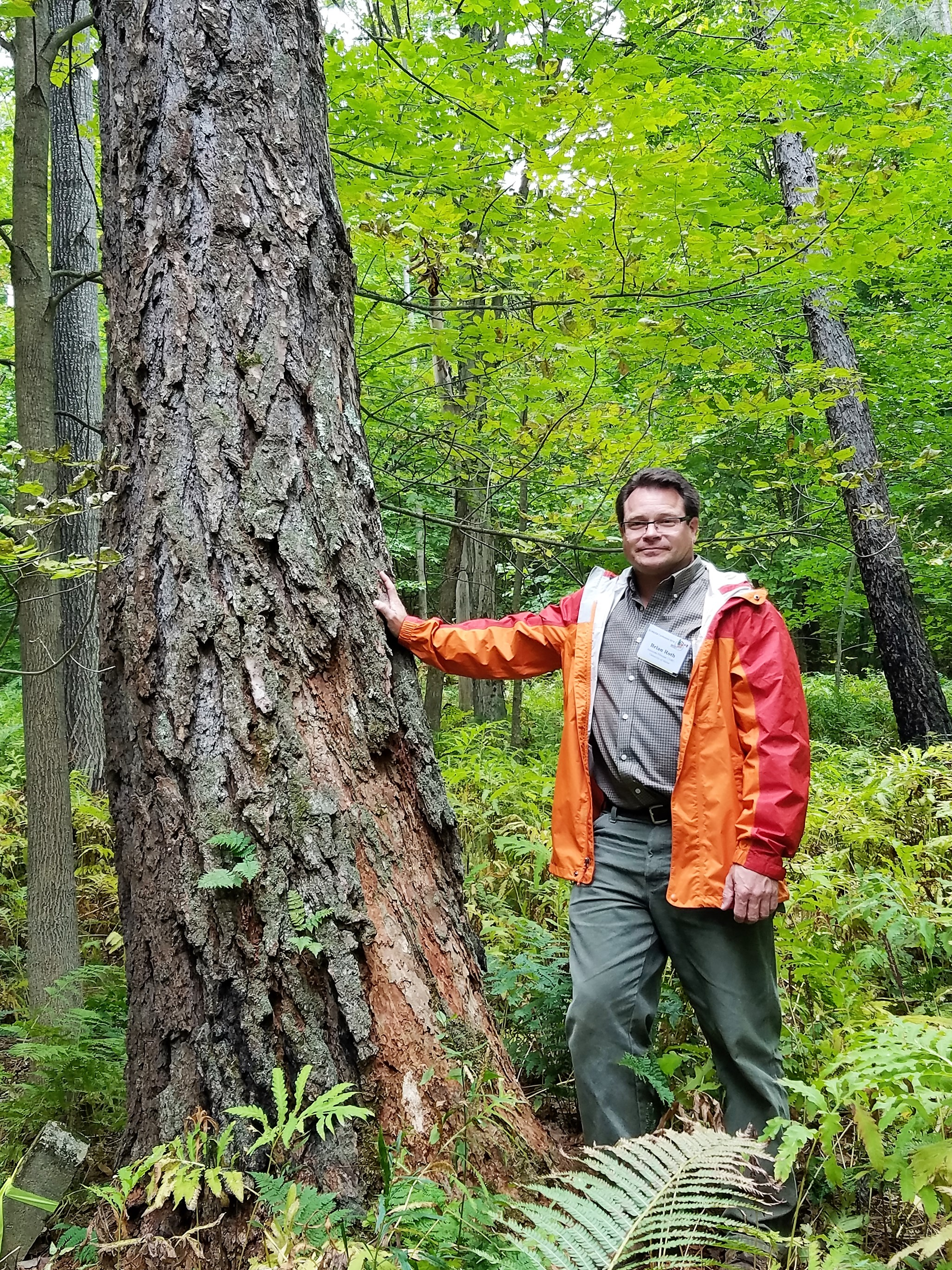 71-year-old-larch-at-jericho-forest-vermont