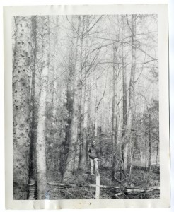 Japanese larch at University of Vermont, planted 1941, picture in early 60's. Photographer unkown.