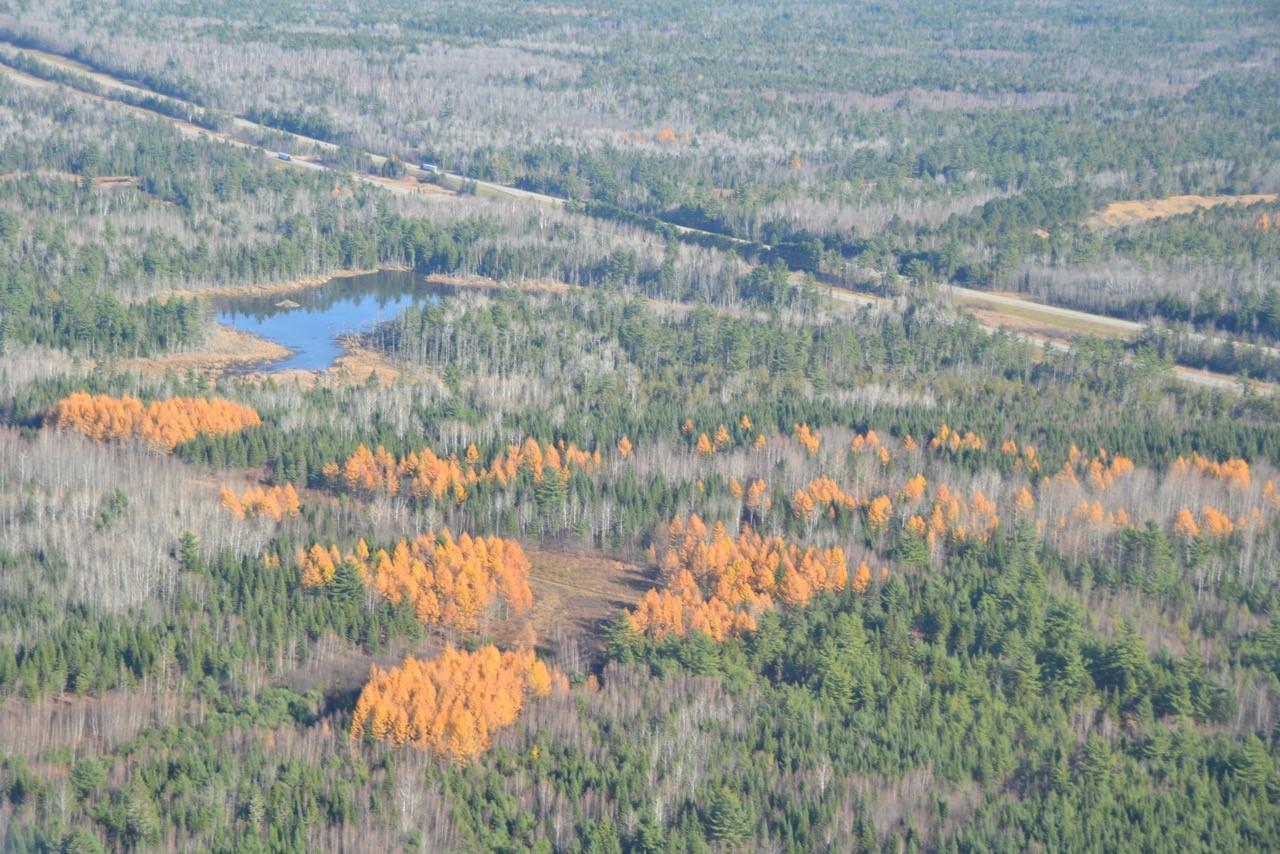 larch plantations, Howland, ME near I-95